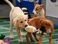 Puppy Bowl: everything you wanted to know