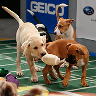 Scenes from Animal Planet's Puppy Bowl X, airing Sunday, Feb. 2 starting at 3 p.m.