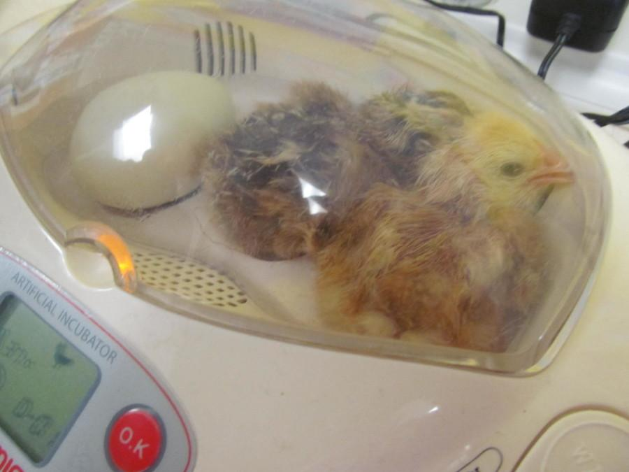 Two of the chicks that hatched in the back of Mrs. Munger's third-grade classroom at Cunniff Elementary School in Watertown, Mass., on June 2, 2015.