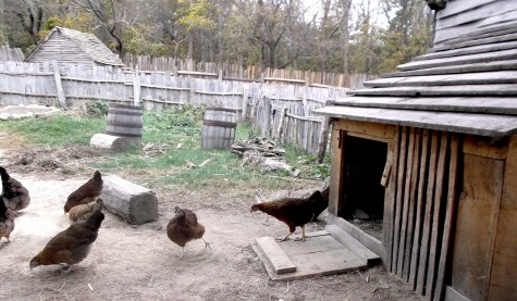 There are many farm animals living in the Pilgrim village at Plimoth Plantation (Oct. 28, 2015).