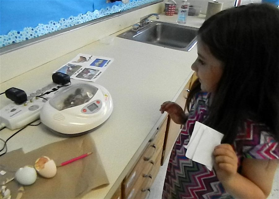 A Cunniff Kids News reporter investigates the new chicks hatched today in Deborah Munger's third-grade classroom at Cunniff Elementary School in Watertown, Mass., on May 15, 2018.
